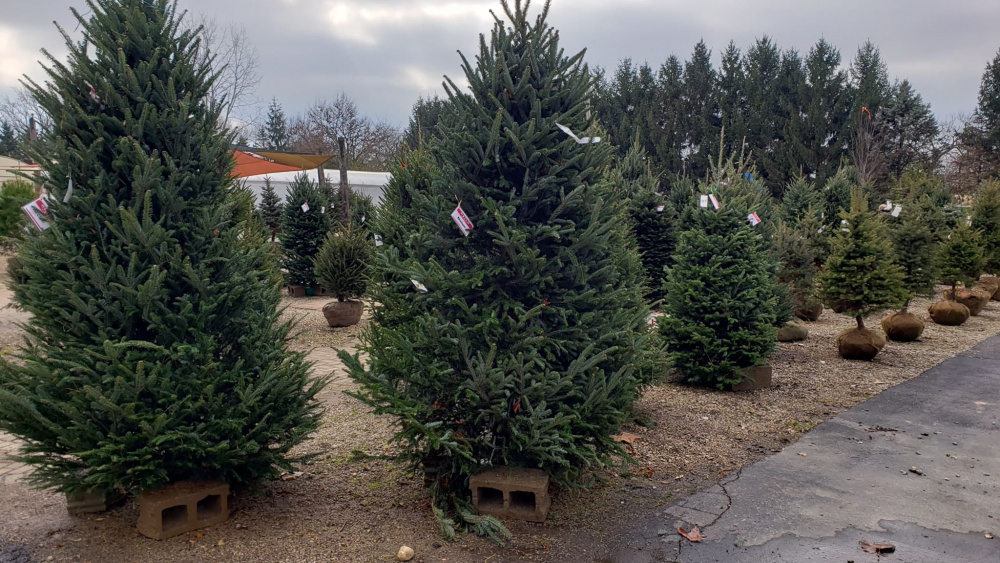 Rhoads Starts Selling Christmas Trees Today! - Scioto Post