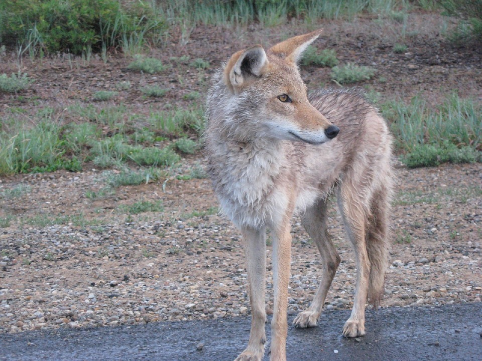 Ohio Division of Wildlife Warns of Young Coyotes Leaving Den